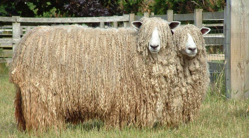 Что представляют бараны и овцы?