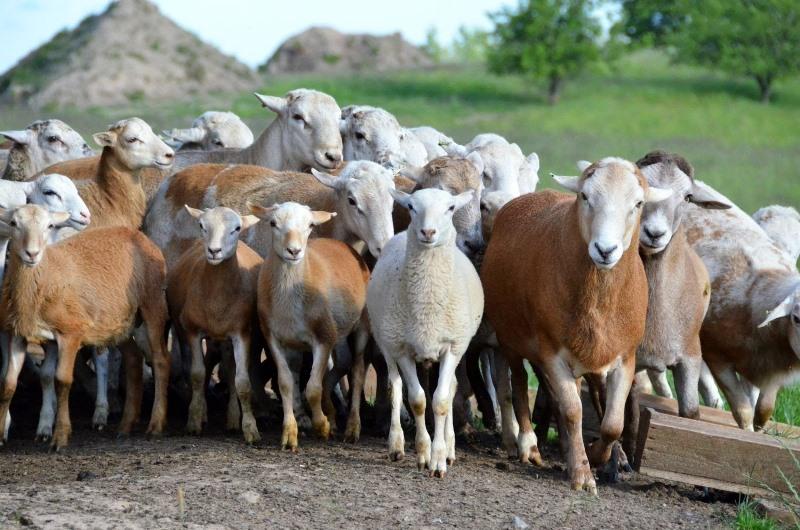 В каком уходе нуждаются овцы романовской породы