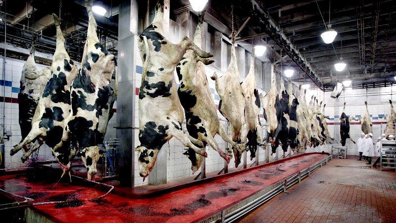 Процесс забоя скота