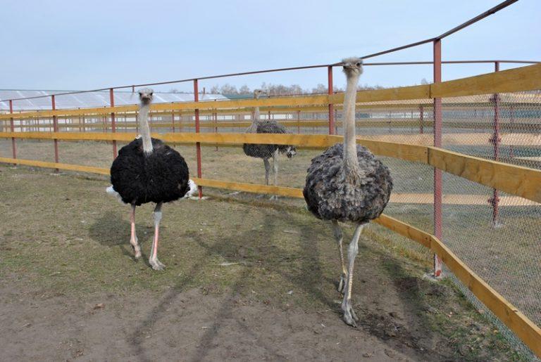 Выращивание страусов в россии 7