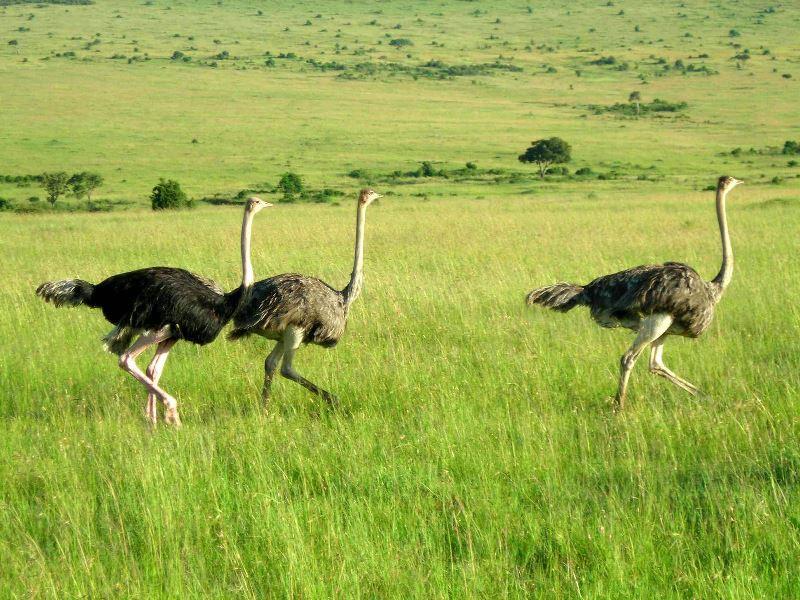 Рекордсмен из мира пернатых: невероятная скорость бега страусов