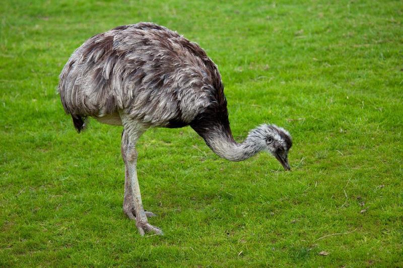 Как организовать разведение страусов в домашних условиях?