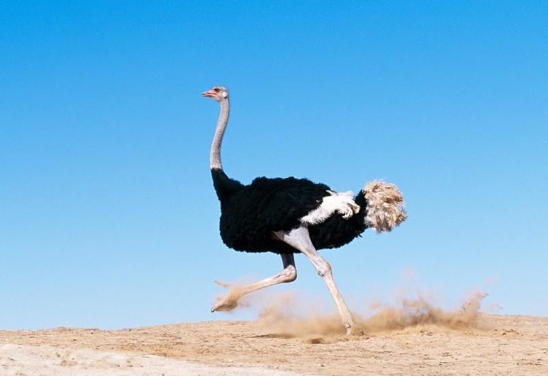 Кто такой страус: история и разведение