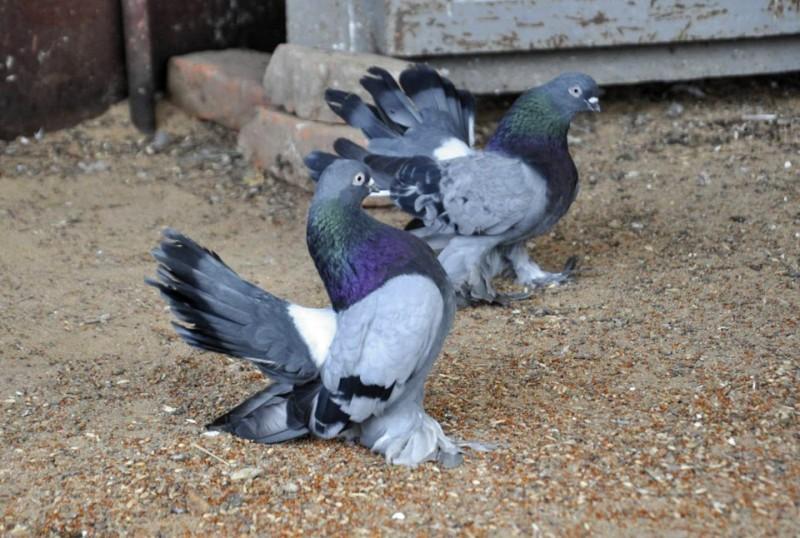 Классификация и признаки статных голубей