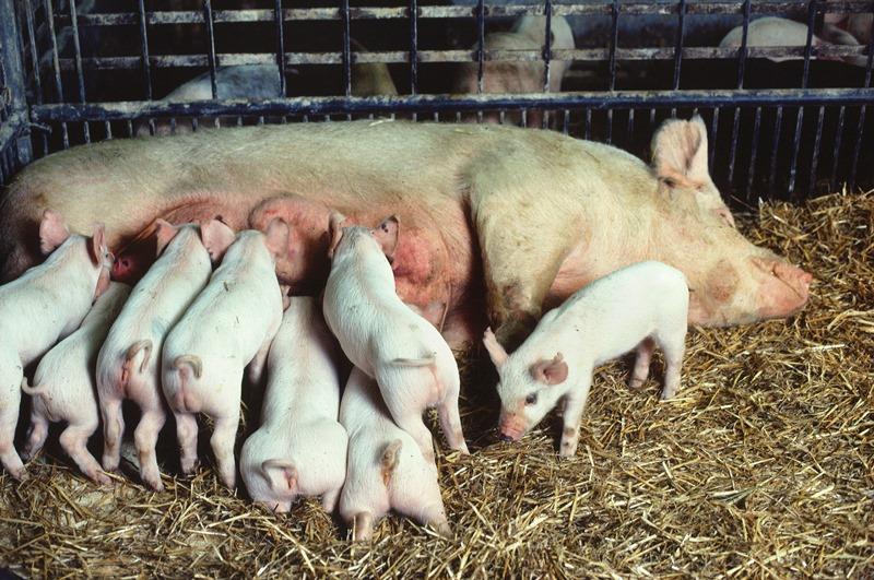 Уход за свиноматкой до и после опороса