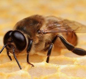 Зачем в пчелиной семье нужен трутень