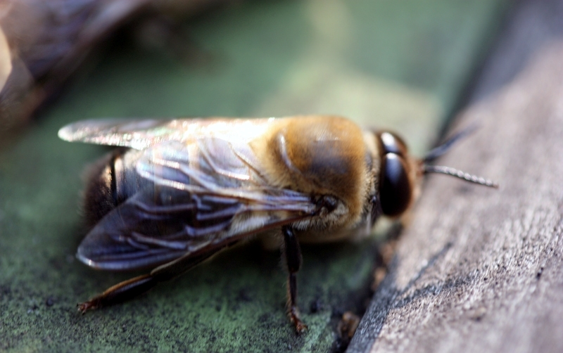 Зачем в пчелиной семье нужен трутень?