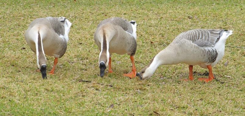 Чем необходимо кормить гусей