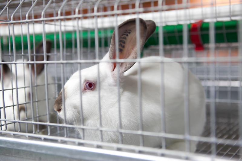 Условия и сроки вакцинации кроликов