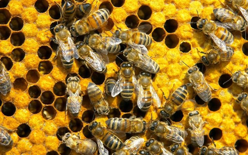 Развитие варроатоза пчел и методы его лечения