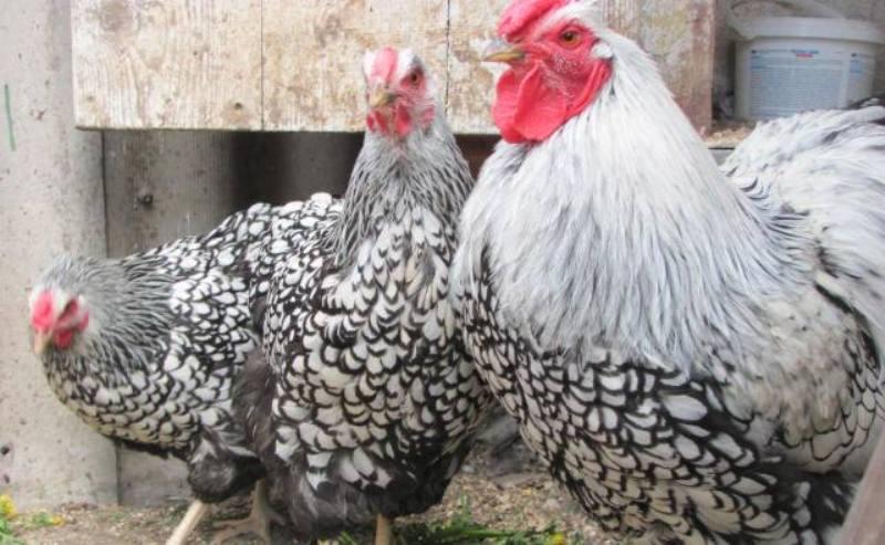 Курицы Виандот