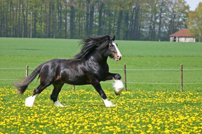 Какая лошадь самая быстрая в мире?