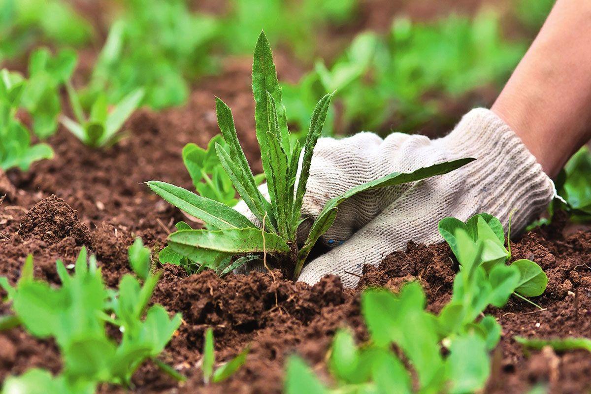 Виды сорняков и как с ними бороться