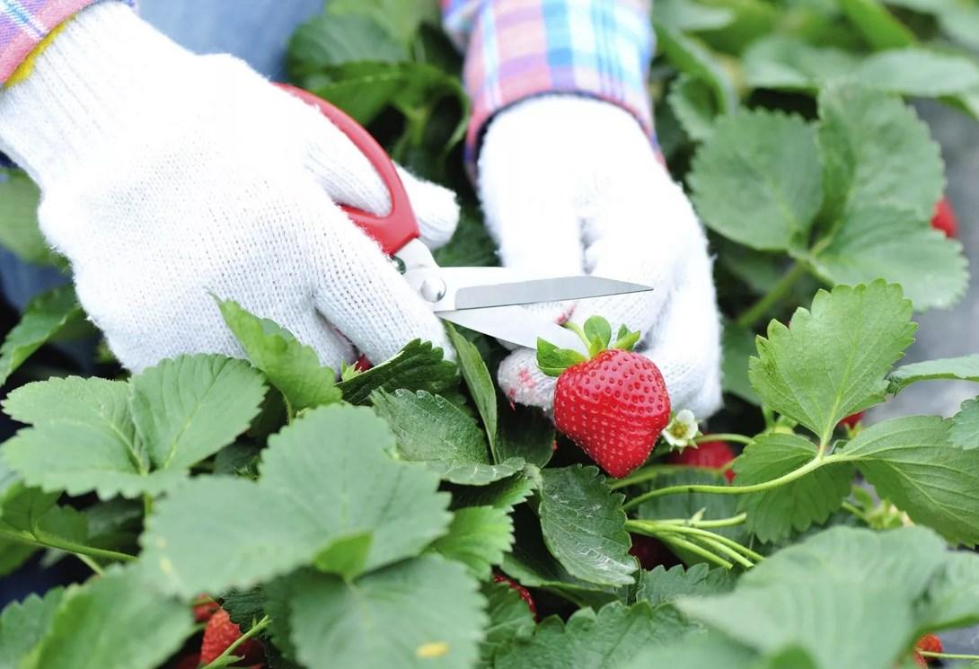 Правильный уход за садовой земляникой
