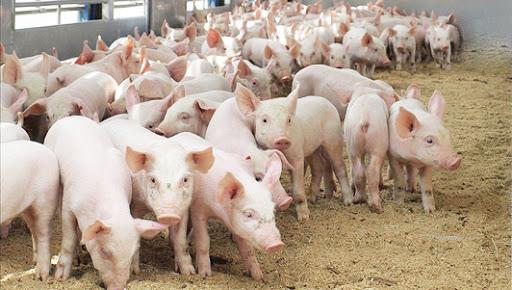Грамотное содержание свиней – о чем необходимо знать, чтобы добиться успеха в свиноводстве?