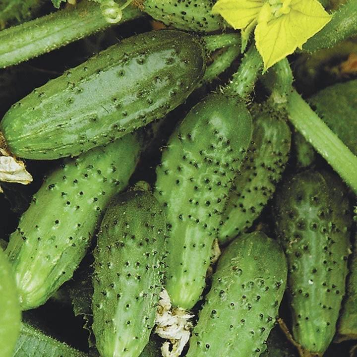 Сорта огурцов: что сегодня идеальнее растет в теплице и открытом грунте