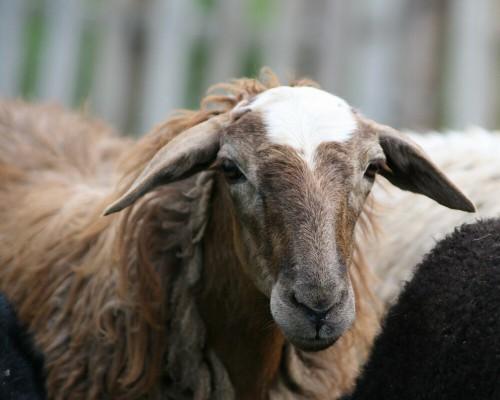 Порода овец Эдильбай: преимущества и особенности