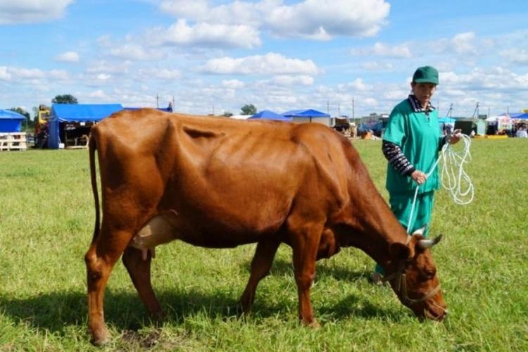 Суксунская порода коров