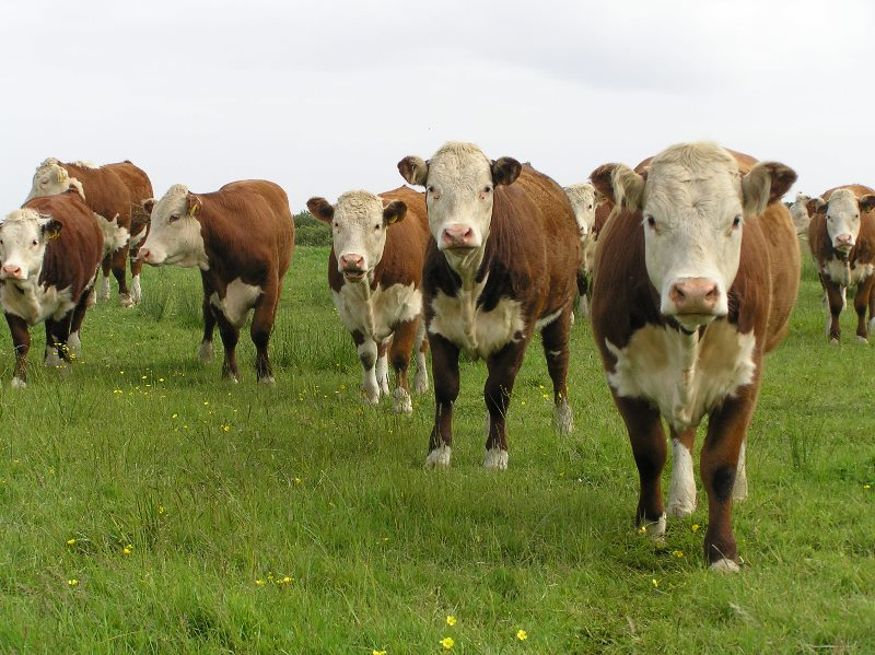 Cattle  Wikipedia
