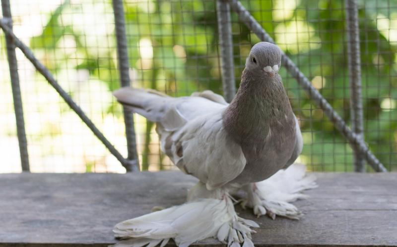 виды бакинских голубей фото хотя находится недалеко