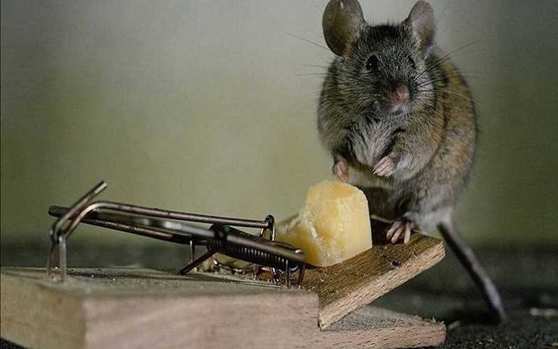 Как можно избавиться от крыс в курятнике