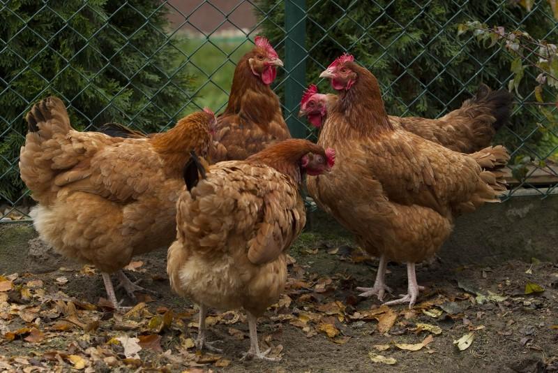 Причины прекращения яйцекладки у кур зимой и осенью