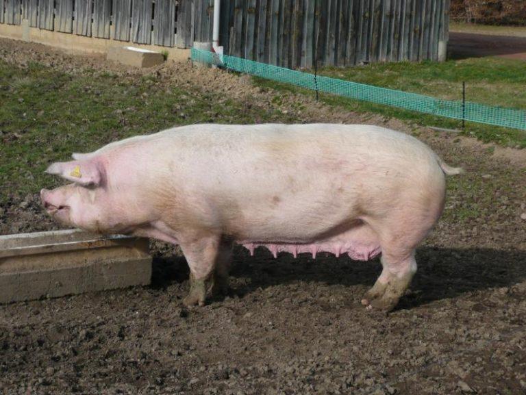 Свинка пеппа стихи совсем