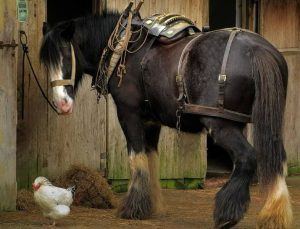 Особенности лошадей тяжеловозов