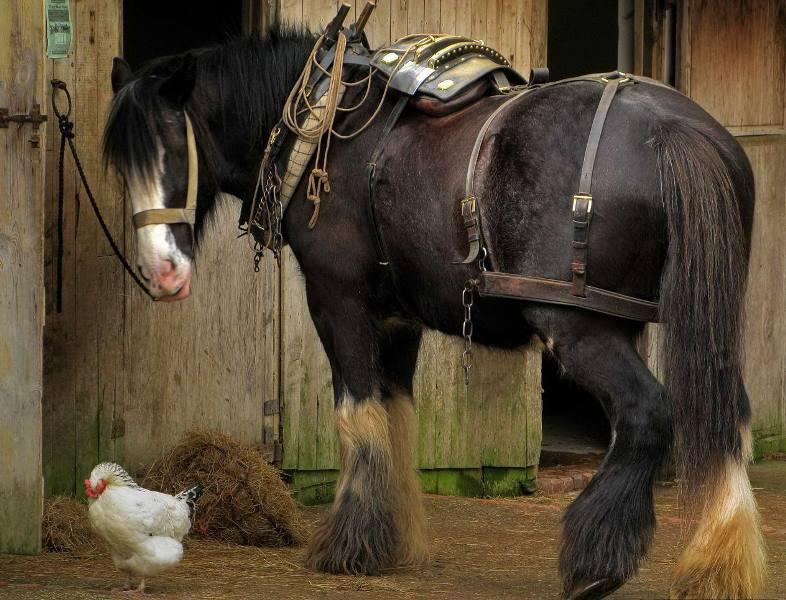картинки с тяжеловозами лошадьми при морозе, так