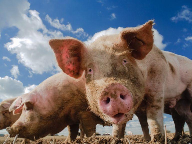 Картинки коровы и свиньи