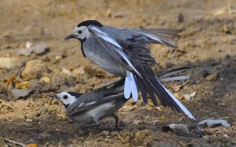 Спаривание птиц фото