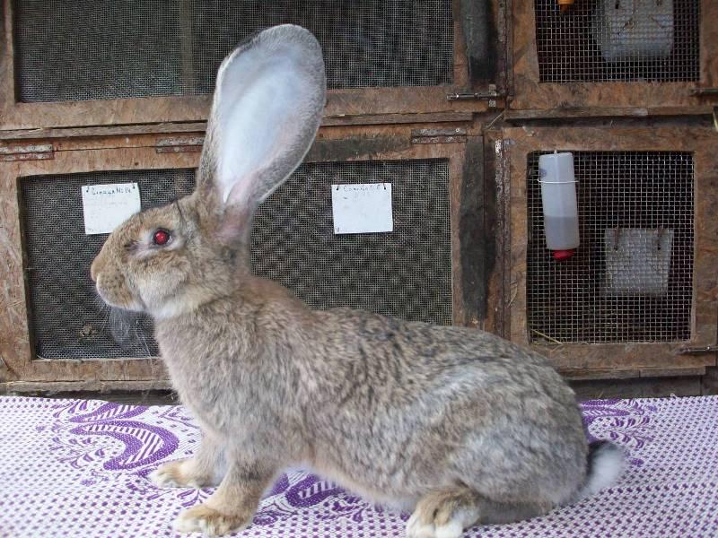 кролик ризен картинки истории гатчины