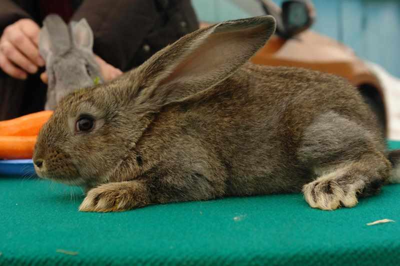 какая кролик ризен картинки член, длинный