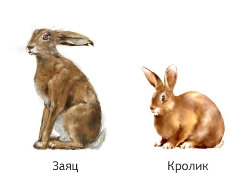 Чем отличается дикий заяц от кролика